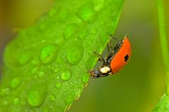 Ladybird and drops Stock Photos