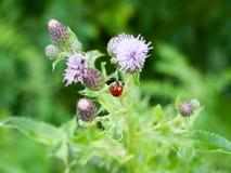 Ladybird e una mosca su una fine della pianta del cardo selvatico su Fotografia Stock Libera da Diritti