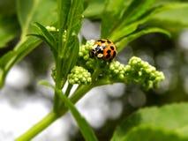Ladybird eating Royalty Free Stock Photos