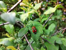Ladybird en nature ayant des rapports photographie stock libre de droits