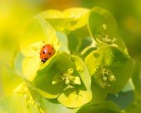 Ladybird On Euphorbia Plant Stock Image
