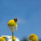 Ladybird. On fallen down camomile Stock Photo