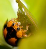 Ladybird feasting on aphid Royalty Free Stock Images