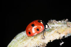 Ladybird feeding on aphids. Royalty Free Stock Images