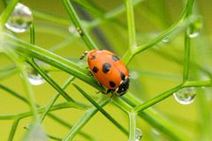 Ladybird on fennel with dew drops stock images