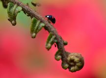 Ladybird on a Fern Plant Stock Images
