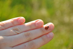Ladybird on finger Stock Photos