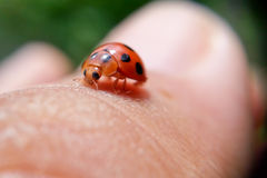 Ladybird on finger stock images