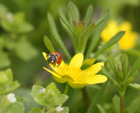 Ladybird on flower Royalty Free Stock Photo