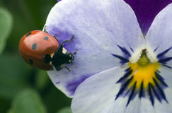 Ladybird on flower royalty free stock image