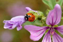 Ladybird on flower Royalty Free Stock Images