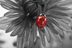 Ladybird on the flower Royalty Free Stock Images