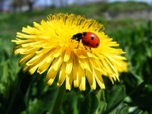 Ladybird on flower. Stock Images