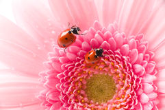 Ladybird on  flower Stock Images
