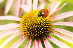 Ladybird on a flower Stock Photos