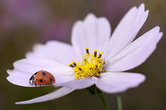 Ladybird on flower. Royalty Free Stock Photography