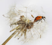 Ladybird on flower. Royalty Free Stock Images