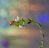 Ladybird on flower. Royalty Free Stock Image