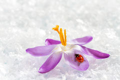 Ladybird on flower crocus Stock Images