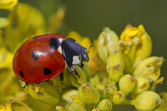 Ladybird on flower. A red and black ladybird on a flower Stock Images
