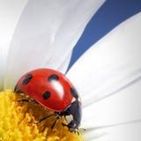 Ladybird on flower royalty free stock image