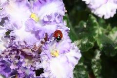 Ladybird on flowers Stock Image