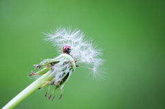Ladybird in the fluff of dandelion on the green background Stock Image