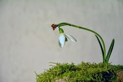 Ladybird flying on a snowdrop  Galanthus   before bright background Stock Image