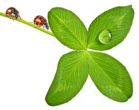 Ladybird on a four leaf clover Stock Photos