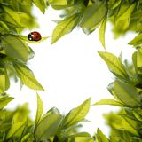 Ladybird with fresh green leaves Royalty Free Stock Photo