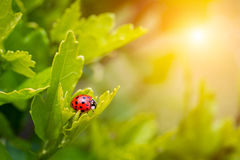 Ladybird in garden, close up Royalty Free Stock Photography