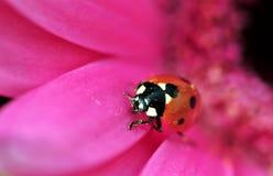 Ladybird on gerbera Stock Photography