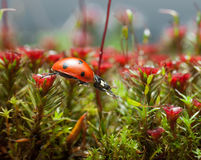 Ladybird get over blossom moss, step two Stock Photography