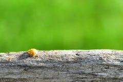 Ladybird giallo Fotografie Stock Libere da Diritti