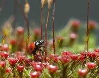 Ladybird going to climb Stock Photos