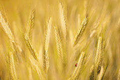 Ladybird on golden barley Stock Images