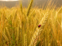 Ladybird on golden barley Royalty Free Stock Images