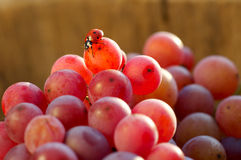 Ladybird and grapes. Ladybird and fresh red grapes Royalty Free Stock Photo