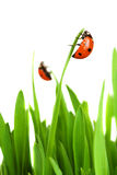 Ladybird on grass Royalty Free Stock Image