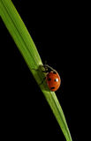 Ladybird on the grass. Royalty Free Stock Photos