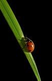 Ladybird on the grass. Royalty Free Stock Photos