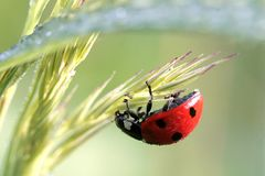 Ladybird on a grass with dew drops. Beautiful ladybird climbs on a gass with morning dew drops of water in sunrise light Royalty Free Stock Photo