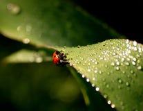 Ladybird on grass. Fresh morning dew and little ladybird on grass Stock Photo
