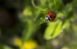 Ladybird on the grass, about to take flight stock photography