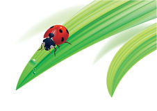Ladybird on grass with water drops. Stock Image