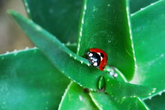 Ladybird on green aloe Stock Image