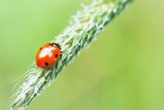 Ladybird on green grass Stock Photography