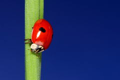 Ladybird on green grass over blue sky. macro Stock Images