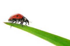 Ladybird on green leaf Stock Photography
