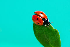 Ladybird on a green leaf against the sky. Stock Images
